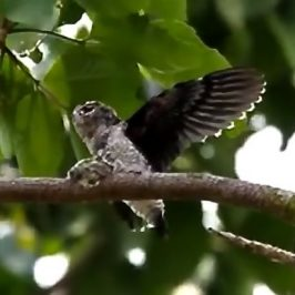 Grey-rumped Treeswift feeding chick – on video