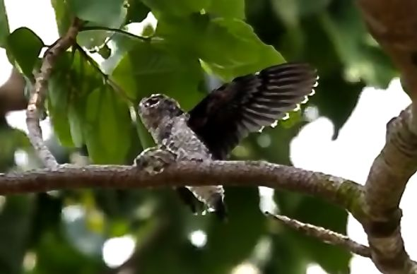 Grey-rumped Treeswift feeding chick – on video