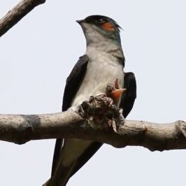 Grey-rumped Treeswift: Male feeding chick and calling female for a shift change