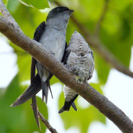Grey-rumped Treeswift feeding chick just before it fledged