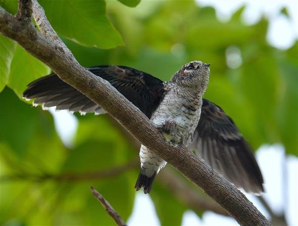 Grey-rumped Treeswift: Just before fledging