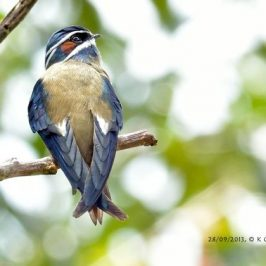 A closer look at a Whiskered Treeswift