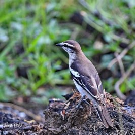 Pied Triller – foraging behaviour