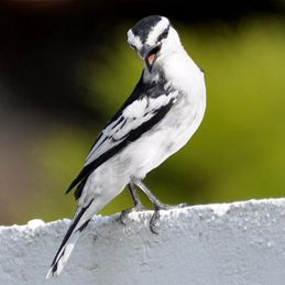 Pied Triller – male, juvenile and call