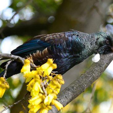 Tui feeding on flower nectar of New Zealand flax