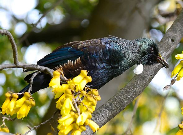 Tui feeding on flower nectar of New Zealand flax