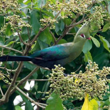 Sighting of an escapee Livingstone's Turaco