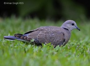 Red Turtle-dove in courtship mode