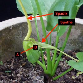 Rodent Tuber (<em>Typhonium flagelliforme</em>): 4.  Gnats and ants