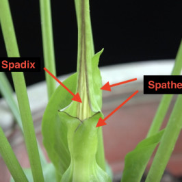 Rodent Tuber (<em>Typhonium flagelliforme</em>): 3.  Pollination