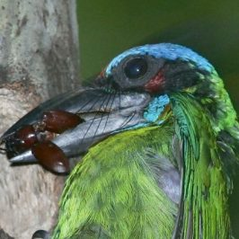 Red-crowned Barbet: Brood care and feeding behaviour