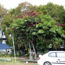 © 'Queensland Umbrella Tree'- A favourite with some Bird Species