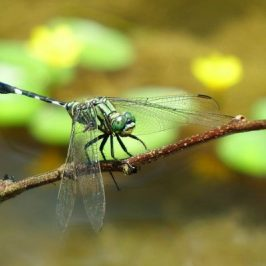 VARIEGATED GREEN SKIMMER FEEDING