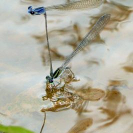 "Damselfly male ""drowning"" his mate while she lays her eggs"
