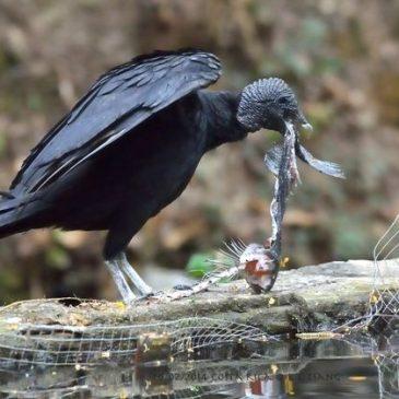 Black Vulture feeding on Rainbow Trout in Costa Rica