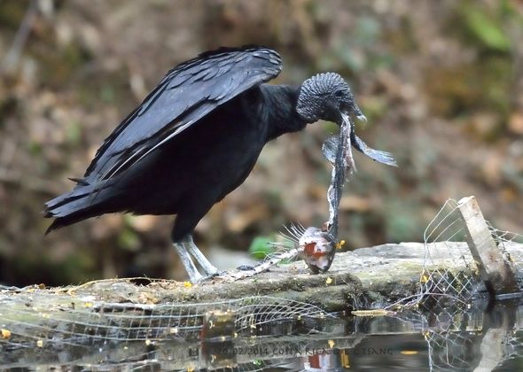 Black Vulture feeding on Rainbow Trout in Costa Rica