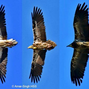 Egyptian Vulture at Pokhara, Nepal