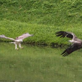 Two eagles avoiding head-on collision while hunting