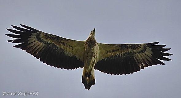 Juvenile White-bellied Sea-Eagle in flight