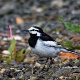 White Wagtail – adults
