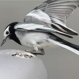 White Wagtail and its image