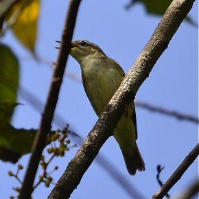 Miscellaneous Bird vocalisation 3