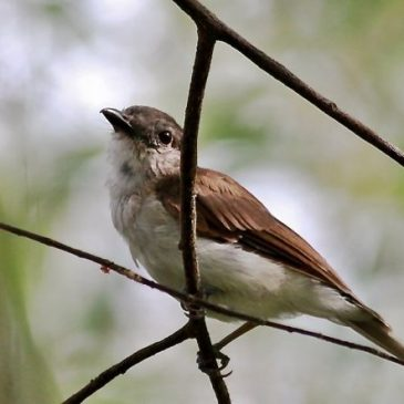 Mangrove Whistler Spotted at Tampines Eco Green