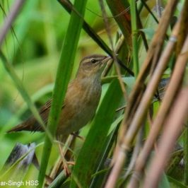 Rusty-rumped Warbler – call