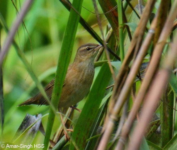 Rusty-rumped Warbler - call