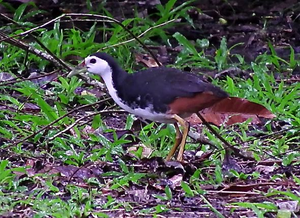 WHITE-BREASTED WATERHEN FORAGING IN THE RAIN