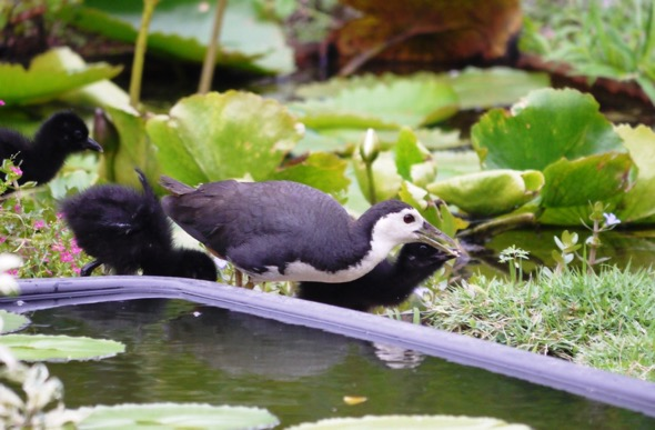 Adult White-breasted Waterhen feeding (Photo credit: Lee Chiu San)