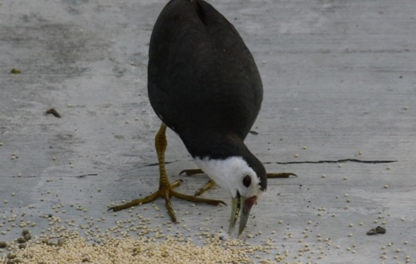 White-breasted Waterhen in threat pose (Photo credit: Lee Chiu San)