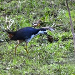White-breasted Waterhen – feeding on a mollusc