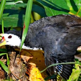 White-breasted Waterhen – 'wing moult'
