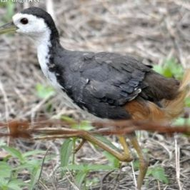 White-breasted Waterhen moulting