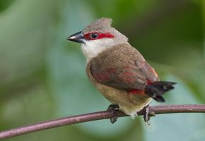 Waxbills in Singapore