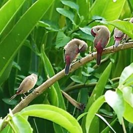 Proliferation of Crimson-rumped Waxbill