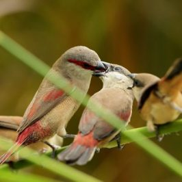 Adult Crimson-rumped Waxbill feeding fledglings