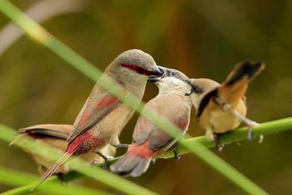 Adult Crimson-rumped Waxbill feeding fledglings
