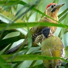 ©LACED WOODPECKER PAIR EATS OIL PALM FRUITS
