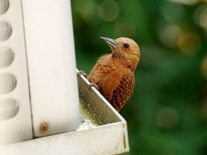 Rufous Woodpecker and the air-conditioning unit