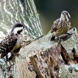 Sunda Pygmy Woodpecker: Time to Fledge