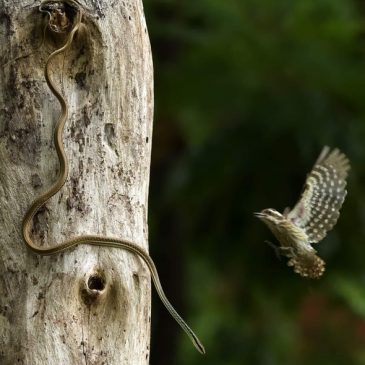 Life and Death moment: Woodpecker vs bronzeback
