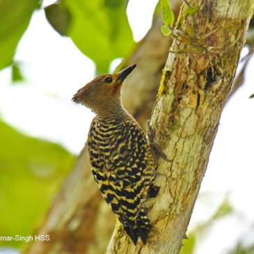 Buff-rumped Woodpecker: rump