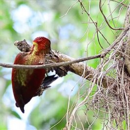 Banded Woodpecker foraging for insect larvae