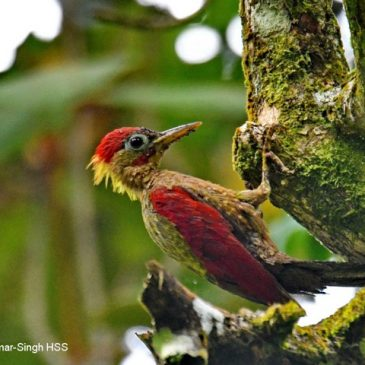 Crimson-winged Woodpecker – adult male