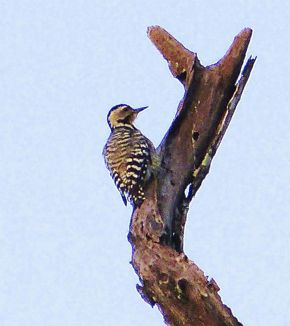 Fulvous-breasted Woodpecker applying plant sap to feathers