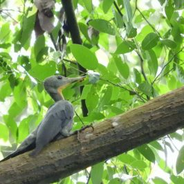 Great Slaty Woodpecker sighted in the Bukit Timah Nature Reserve