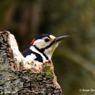 Great Spotted Woodpecker – Hokkaidō