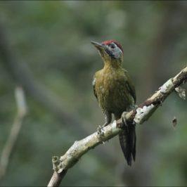 Laced Woodpecker feeding